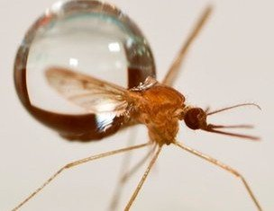 Scientists have found that mosquito's tiny, low-weight body, is the key to its ability to survive flying in the rain