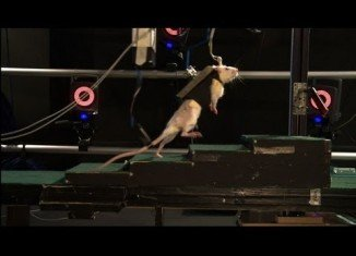 Scientists have shown that paralyzed rats have been able to walk again after their spinal cords were bathed in chemicals and zapped with electricity