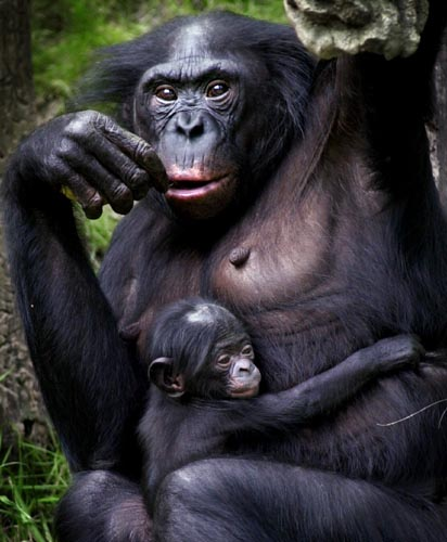 Scientists have succeeded to decode the bonobo genome, the biochemical instructions in the ape's cells that guide the building and maintenance of the animal's body