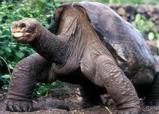 Staff at the Galapagos National Park in Ecuador has announced that Lonesome George, a giant tortoise believed to be the last of its subspecies, has died