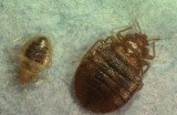 Bed Bugs close-up