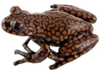Hyloscirtus princecharlesi, or the Prince Charles stream tree frog, was first discovered by Dr. Luis A. Coloma in 2008 amongst specimens collected for a museum