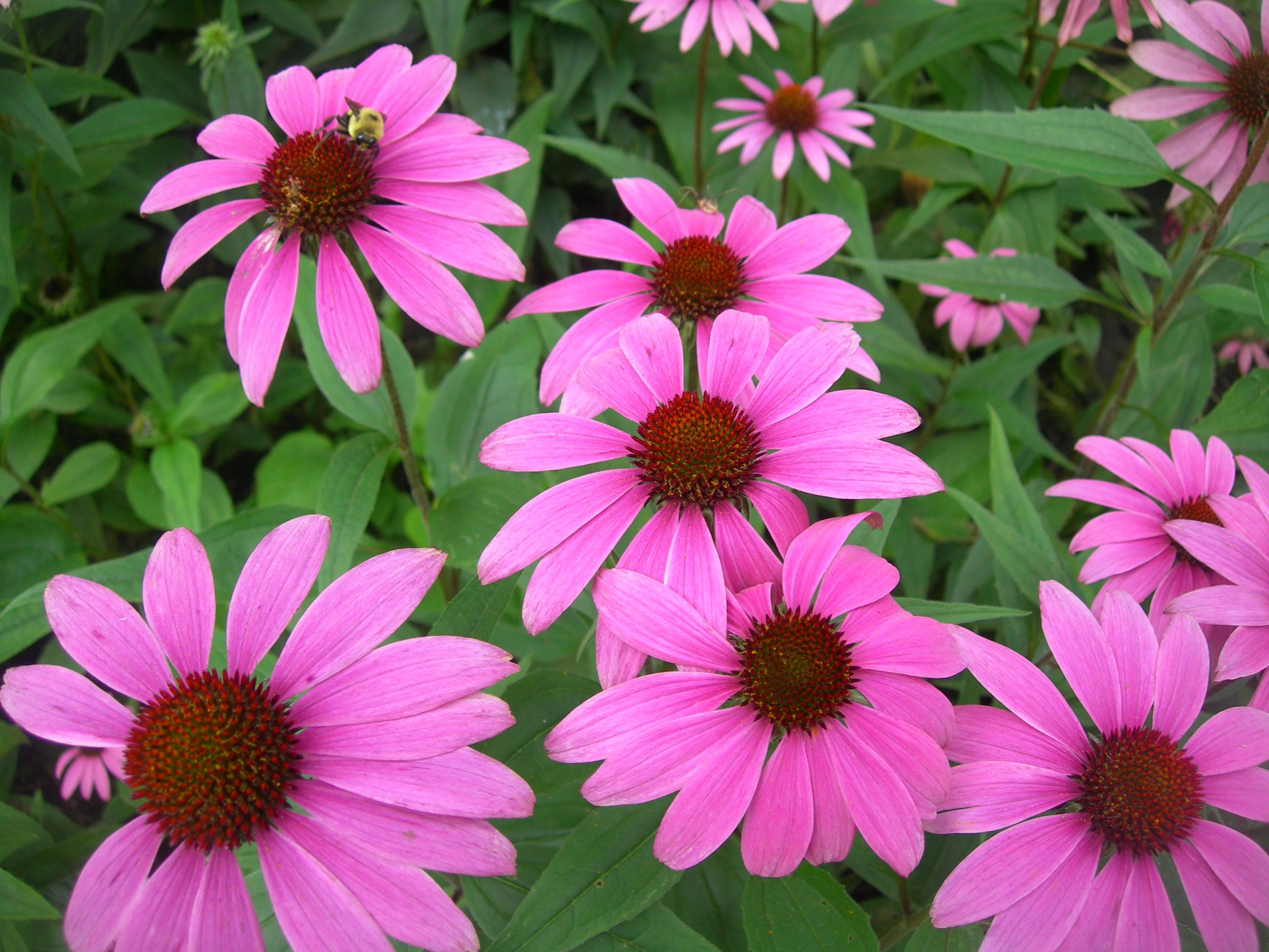 Echinacea is an herbal remedy that should not be given to children under 12, the UK's drugs watchdog has warned parents