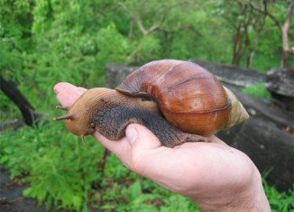 "Giant African Land Snails cause widespread damage to crops and buildings, while some carry thousands of ""rat lungworms"" which can cause meningitis if ingested by humans"