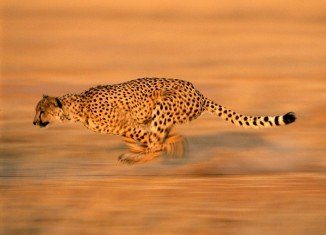 Japanese researchers mapped the muscles fibres of cheetah known to accelerate to record-breaking speeds