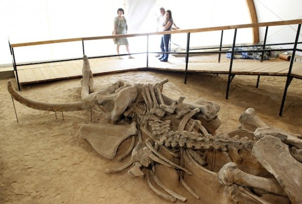 The discovery of well-preserved woolly mammoth remains in eastern Siberia has raised distant hopes that the animal could be cloned
