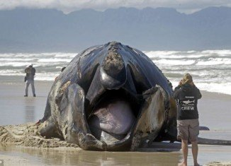 A large section of coastline in South Africa has been closed after a 15-metre whale washed ashore following an attack by Great White sharks
