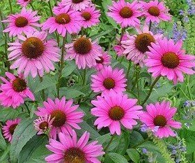 According to the largest ever clinical study of echinacea, the herbal remedy can prevent colds and is of most benefit to people who are prone to them