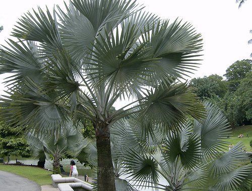 Madagascar palms face extinction due to land clearing