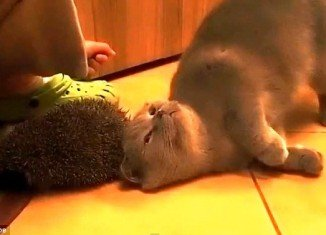 The British shorthair cat desperately tries to scratch an itch using a spiky hedgehog