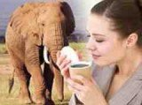 The elephant dung coffee is made from beans eaten and digested by elephants living on a reserve in Thailand