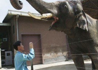 Asian elephant Koshik has astounded scientists with his Korean language skills