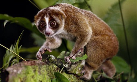 The primate is a type of slow loris, a small cute-looking animal that is more closely related to bushbabies and lemurs than to monkeys or apes