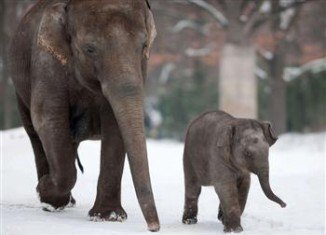 Two elephants have been saved from the deadly Siberian cold by drinking vodka