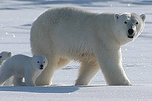 Wildlife campaigners are at odds over a new attempt to ban the global trade in polar bear parts photo
