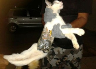 A cat has been detained in the grounds of Arapiraca jail in Brazil with contraband goods for prisoners strapped to its body with tape