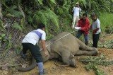 Malaysian officials say ten endangered Borneo pygmy elephants have been found dead in a reserve and they may have been poisoned