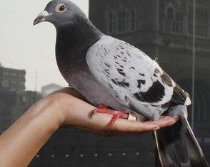 "Scientists have announced that the mystery of the ""Bermuda Triangle"" of the homing pigeon world may have been solved"