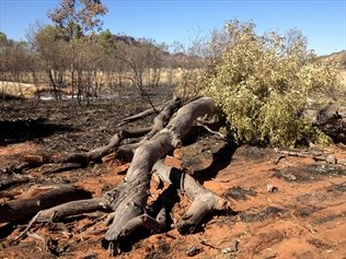 Two ghost gum trees made famous by the work of Australian Aboriginal artist Albert Namatjira have been found burnt in Alice Springs