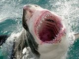 A great white shark has killed a man off Muriwai Beach near the New Zealand city of Auckland