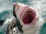 A great white shark has killed a man off Muriwai Beach near the New Zealand city of Auckland
