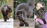 Caffrey the Persian cat survives on two legs on the same side