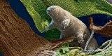 Tardigrade, known as water bear, is dubbed nature's greatest survivor, being almost invincible