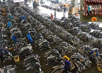 Around 100 million sharks are being killed annually, the most accurate assessment to date of the impact of commercial fishing on sharks suggests