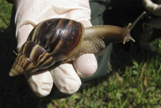 African land snail is one of the world's largest species of snail