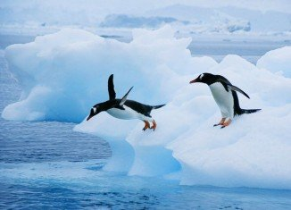 Researchers believe that the penguin's underwater prowess may have cost it its ability to fly