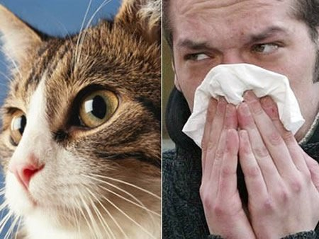 British scientists have discovered how allergic reactions to cats are triggered, raising hopes of preventative medicine