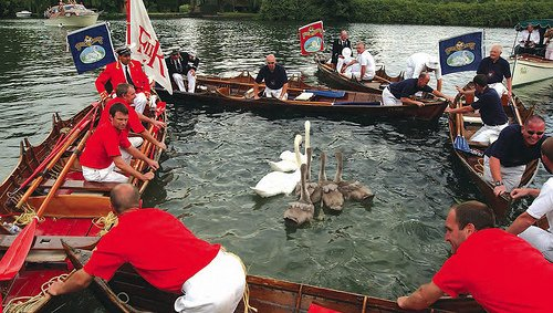 Swan Upping is the annual census of the swan population on stretches of the Thames photo