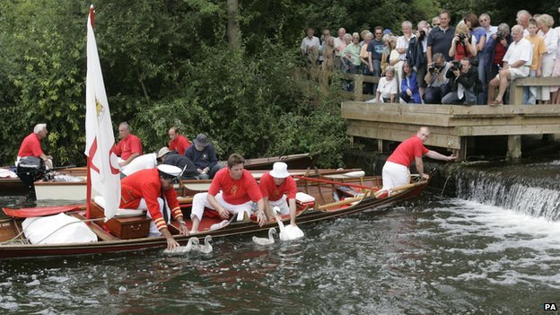 The ritual known as Swan Upping dates back to the 12th century when the ownership of all unmarked mute swans in open water in Britain was claimed by the Crown