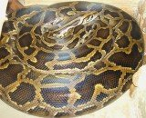 Forty distressed pythons have been rescued by animal welfare officers from plastic storage bins in a Canadian motel room