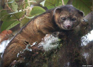 Olinguito and is the first new species of carnivore to be identified in the Western hemisphere in 35 years