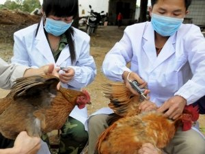 Scientists have reported the first case of human to human transmission of the new strain of bird flu that has emerged in China photo