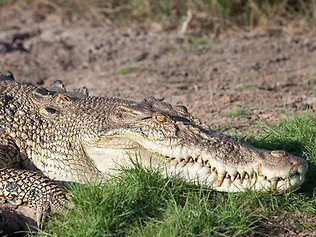 The man is believed to have been killed by a crocodile in the Northern Territory while swimming in Mary River during a birthday party