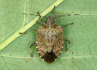 Stink bugs are set to hit Lancaster County, Pennsylvania, in record numbers this winter