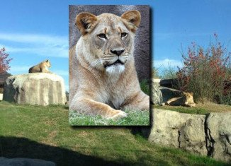 Lioness Johari, known as Jo-Jo, was a Dallas Zoo staff favorite
