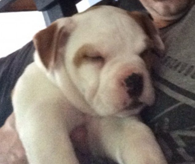Justin Bieber's new pet is a seven-week-old Bulldog named Petey