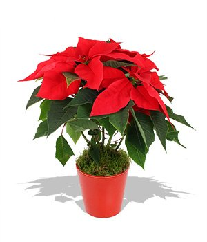 The Mafia men have been forcing shop owners to buy Christmas poinsettias for 100 times the wholesale price photo