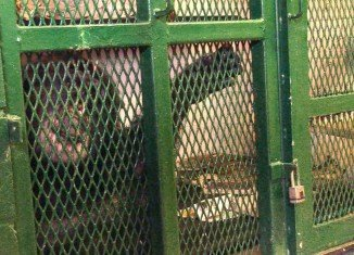 The Nonhuman Rights Project wants chimp Tommy to be granted legal personhood and thus entitled to the fundamental right of bodily liberty