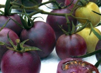 Genetically modified purple tomato large-scale production is now under way in Canada