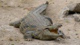 Saltwater crocodiles are the largest living reptiles on Earth