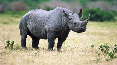 The Dallas Safari Club in Texas says the hunt will help protect the species by removing an old aggressive rhino photo
