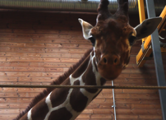 Copenhagen Zoo says it needs to kill the giraffe before it becomes an adult and attempts to mate