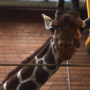 Marius: Giraffe faces death at Copenhagen Zoo