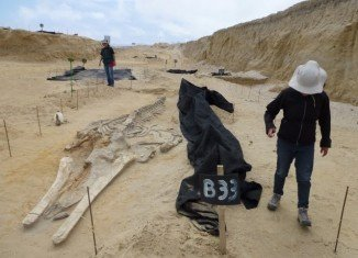 The whale graveyard found beside the Pan-American Highway in Chile is one of the most astonishing fossil discoveries of recent years
