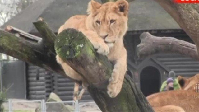 Copenhagen Zoo that provoked outrage after putting down Marius the giraffe has killed a family of four lions to make way for a new young male lion