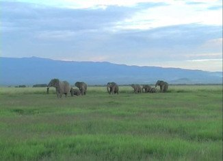 Elephants are able to differentiate between ethnicities and genders, and can tell an adult from a child